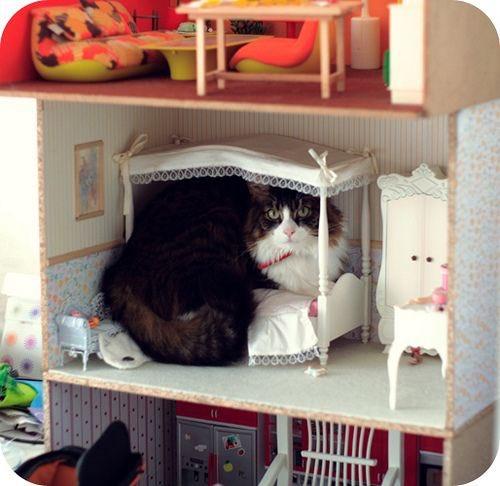 巨貓入侵?喵皇「闖進玩具屋」 依偎在芭比旁邊...畫面太萌!