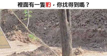 眼力考驗!「隱身樹林裡的豹」沒人能找到 看解答飲恨「豹護色」太猛