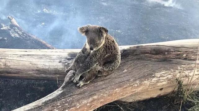 森林大火的悲劇!無尾熊媽媽「耳朵+後背燒焦」不敢動 用肉身「保護小孩」全網爆淚