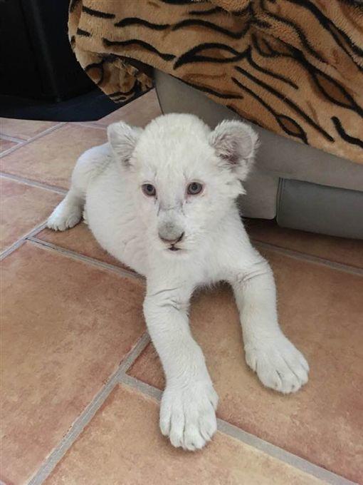 全球只剩300隻!超稀有白獅「辛巴與娜娜」出生 在人類懷中「撒嬌賣萌」超可愛