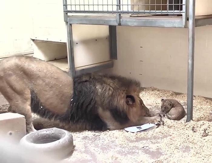 影/獅子爸與寶寶「初次見面」 牠「一個動作」暖哭網友:好像在看《獅子王》!