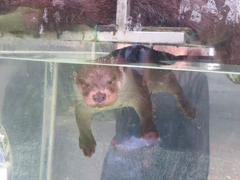 動物園驚現「水獺閉眼漂浮」嚇傻遊客 揭開「超萌內幕」網笑翻:對心臟不好!
