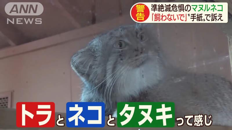 最古老貓科動物!日動物園卻呼籲民眾「別想要養」 揭「拒養真相」讓網驚:處境很危險