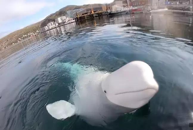 影/意外巧遇「小白鯨」相機手滑掉海底 牠馬上「幫忙撿」超貼心