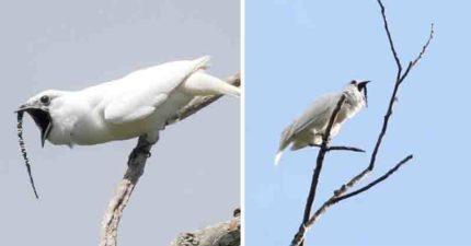 影/世界上最吵的鳥!把妹時「大叫到125分貝」 妹子慘冒「被吵聾風險」勇敢交往