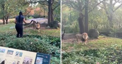 大膽女跨過「動物園欄杆」闖入禁區 和獅子「面對面跳舞」網傻眼:活膩了?