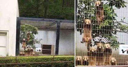 日本動物園出現「超失控畫面」!日本獾集體「向人類施壓」太傻萌 官方解釋原因