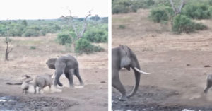 影/陸地之王是牠!大象遇上犀牛母子 對決結果讓人大驚:原來這麼強