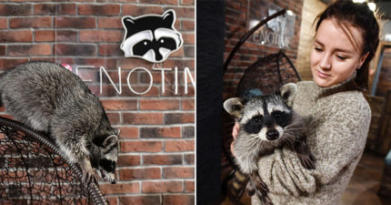 國外推「浣熊主題咖啡廳」全球爆紅 小動物們「超熱情招待」客人都捨不得離開❤