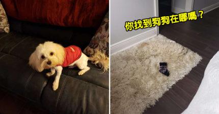 最強偽裝術!小白狗「躺在地毯」主人完全找不到 他無奈嘆:有幾次差點踩到...