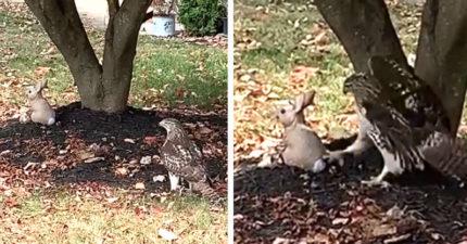 鷹眼也會失誤!老鷹不解為什麼兔子不怕牠 走近一看氣炸...做出「超幼稚行為」秒變屁孩鷹