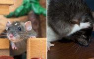 影/教老鼠「玩躲貓貓」發現...不但「知道躲哪」還懂怎麼當鬼!