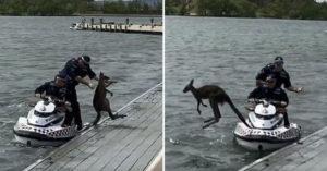 影/澳洲袋鼠「疑似溺水」被警員救起 牠下秒卻「再度跳入湖中」