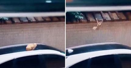 喵星人「想跳到屋簷」卻發生悲劇 整隻毛球直接「消失在鏡頭」貓奴笑翻:這下糗了!