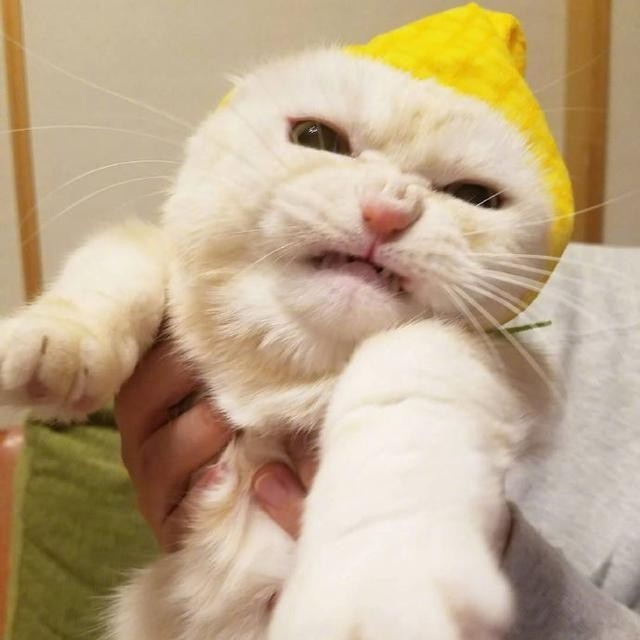 小白貓被「可愛小熊帽」逼到表情失控 超怒肥臉「出拳狂毆」:給我拿下來!