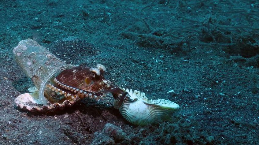 章魚「塞塑膠杯」當家 潛水員「冒生命危險」找新房:避免更大浩劫!