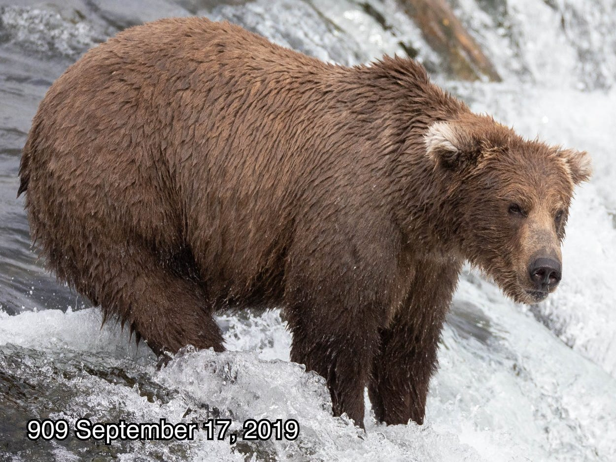 一年一度的「國家公園胖熊週」選拔賽開跑 超過百隻「圓滾萌大熊」爭奪最胖寶座!