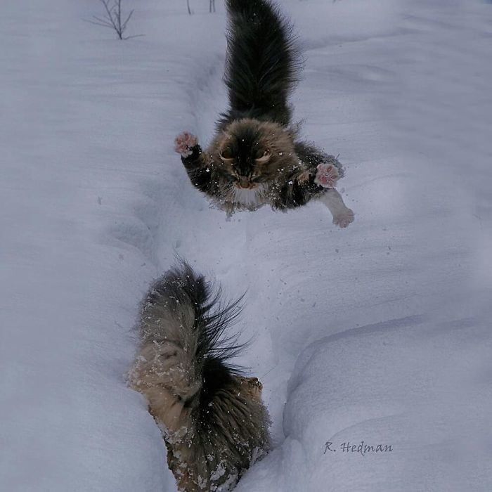 活生生的毛球!世界上「長得最保暖」炸毛系喵星人 玩耍跳起來「根本一坨毛」