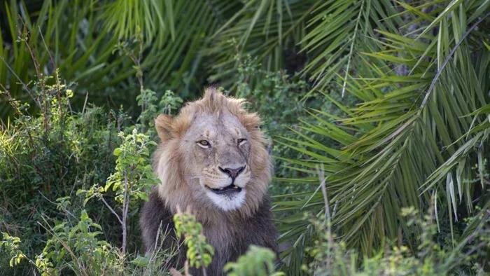 調皮獅子「發現被偷拍」怒吼嚇壞攝影師 下秒卻露出「腼腆微笑」網笑翻!