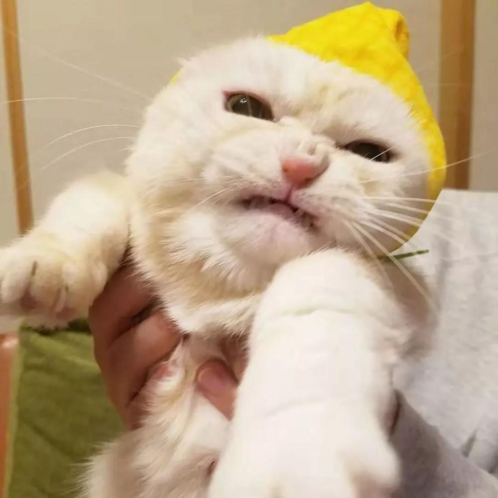 奴才幫貓皇戴小帽帽...下秒牠氣到「五官皺成一大團」網笑翻:奴才要跪算盤了!