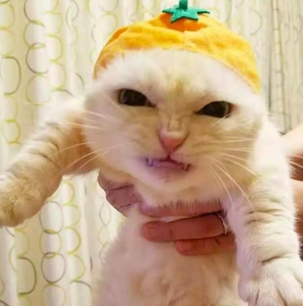 幫貓皇戴小帽帽...氣到「五官皺一大團」:奴才要跪算盤了!