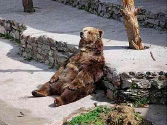 無論哪個品種的熊「曬太陽姿勢」都一樣 貓熊是最爽那個!