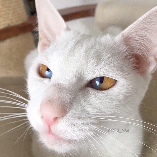 仙女美貓眼睛有「日出的天空」超美漸層堪稱世間極品❤
