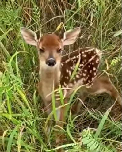 影/梅花鹿是怎麼叫的?網捕捉「野生梅花鹿叫聲」太震驚 網:真的崩壞了