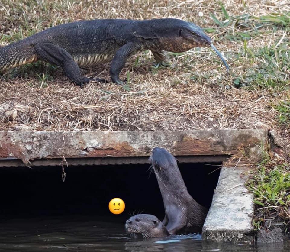 他捕捉到「海獺情侶野外親熱」畫面 牠「硬要被推開」下秒直接出事!