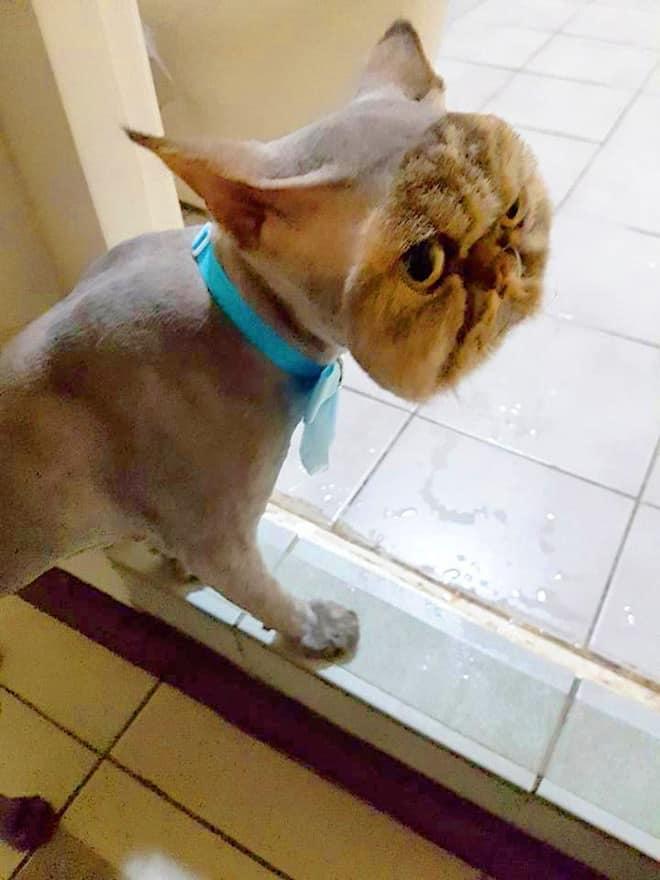 14張慘被主人出賣「只有脖子以下被剃毛」爆笑動物 二哈眼神超厭世:我是誰我在哪