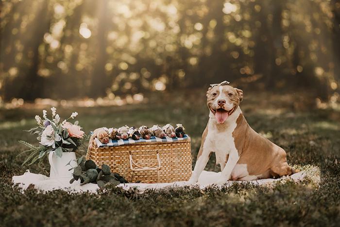 鬥牛犬拍攝「懷孕VS產後」唯美寫真集爆紅 超萌「新生幼犬特寫照」讓人瞬間融化❤