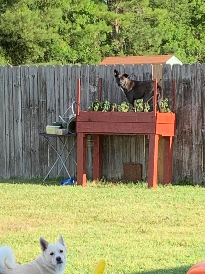 呆萌狗「勇敢越獄」只為見同伴一面 牠們「爽玩3小時」主人只好把圍牆拆了!