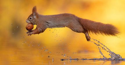 神手捕捉「松鼠啃堅果」夢幻照 毛球「水面倒影」像在看繪本!