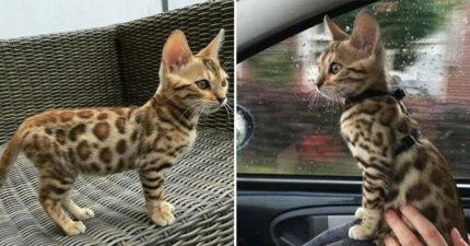 他在路上撿到「豹紋流浪貓」領回家 帶去診所「身體檢查」獸醫超驚喜:撿到寶了!