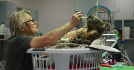 澳洲野火無尾熊瀕危 醫院募款「民眾狂捐32倍」專家:要10年才能復原