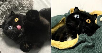 摺耳貓「天生全黑+異色瞳孔」網路爆紅 牠的「天然小圍巾」超Q❤
