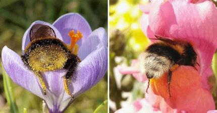 小蜜蜂累到「塞進花裡」偷懶被抓包 牠睡翻「屁屁沾滿花粉」模樣太可愛!