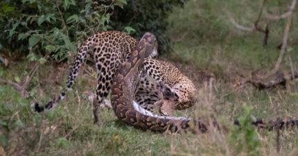 貪心蟒蛇想把「整隻獵豹」吃進肚 下秒「對方關鍵反擊」結局超悲劇!