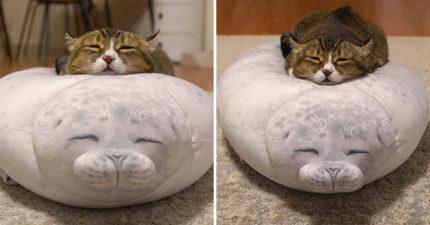主人買「海豹抱枕」回家…小貓躺上「神還原表情」網全被融化 比原版還搶戲!