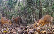 科學家發現「像老鼠的鹿」超稀有物種 揭開「30年真相」震撼生物界…人類要保護牠們!