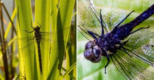 研究發現母蜻蜓「會裝死」躲異性追求 專家解釋:都怪男的太花心!