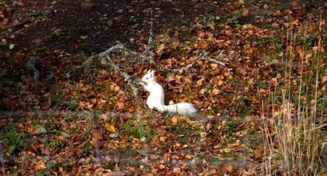 超罕見白松鼠出沒!一身白毛穿梭樹林像「雪精靈」專家驚:出現率只有百萬分之一