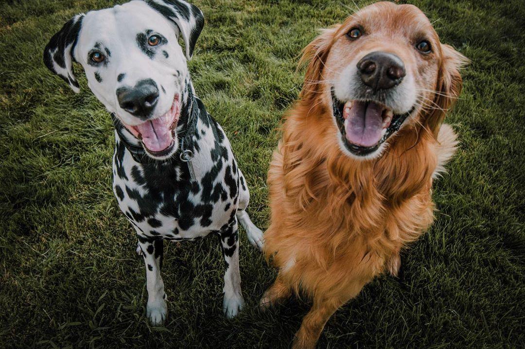 超可愛101忠狗天生有「完美愛心鼻」 長大之後根本狗界超模!