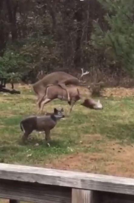 影/公鹿發情 「猛撲仿真雕像」過程全被錄 下秒發生「斷頭悲劇」當場嚇壞牠!