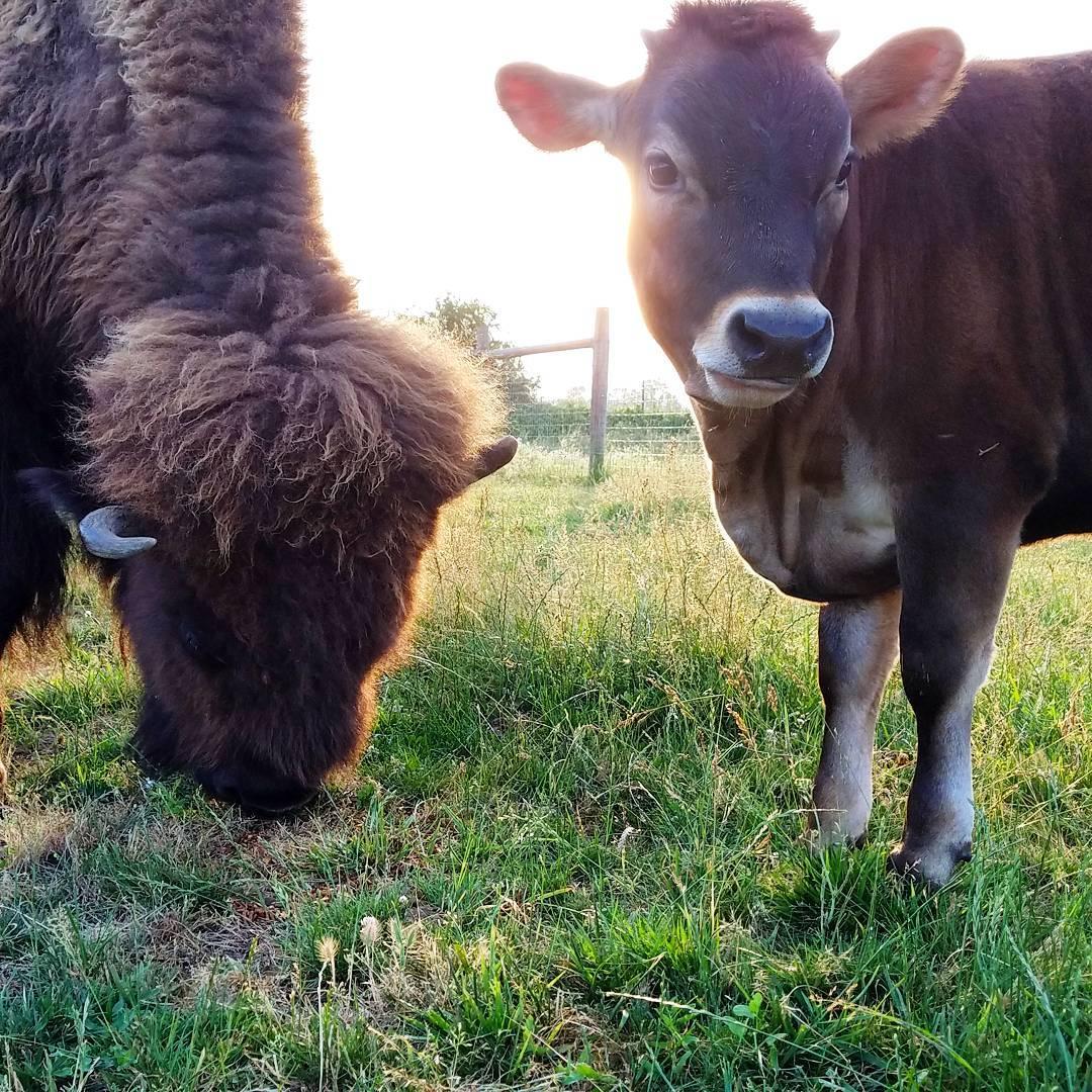 孤獨盲牛交到「第一個好朋友」貼心幫對方理毛 他們毛色還越長越像!