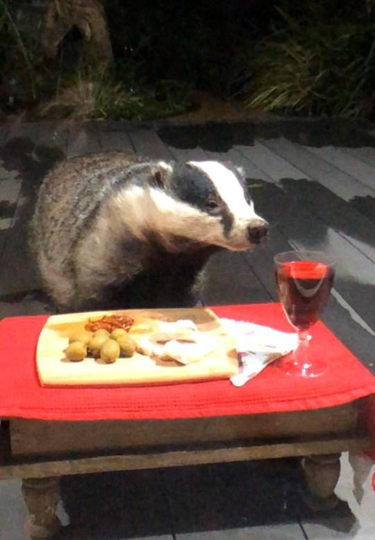 萌獾14年來每天「攜家帶眷」來蹭飯 鄰居準備「超高級伙食」媲美五星級飯店!