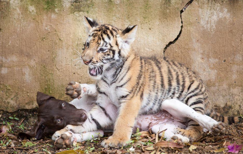 孟加拉幼虎被媽媽拋棄 緊抱最好狗朋友「你不要走」畫面太溫馨