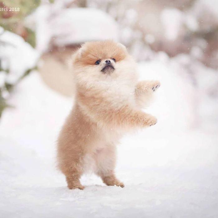 21張「博美在雪地玩耍」的超萌照 毛球「大跳嘻哈舞」網秒融化❤