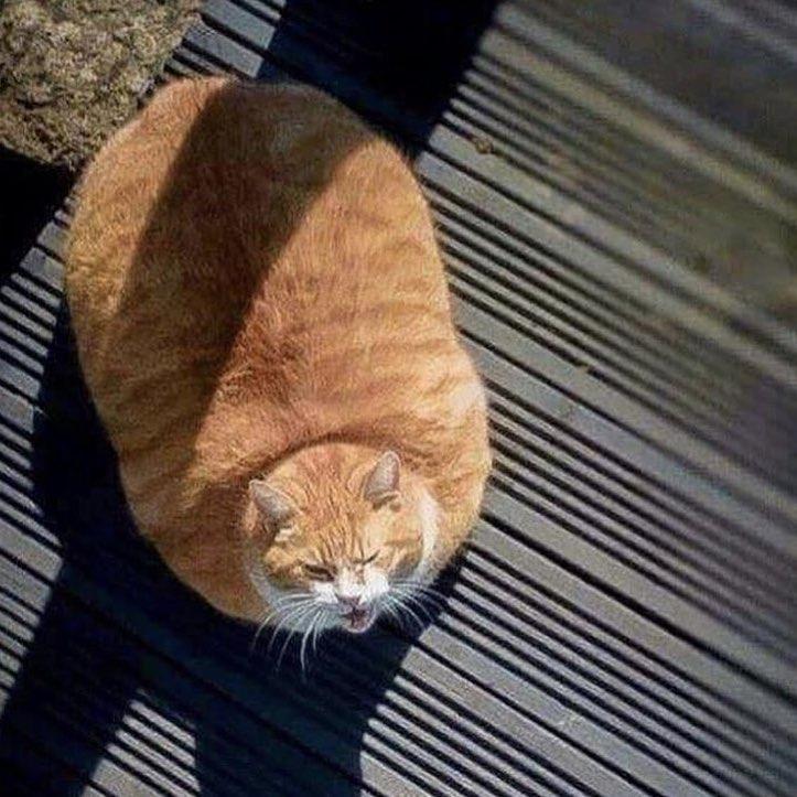 13隻「身體跟氣球一樣大」的圓滾滾動物 真實版龍貓竟然存在!