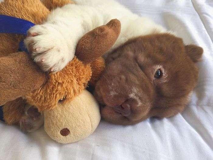 牠被誤認為「熊面狗身獸」太可愛 脖子以下像是不同的生物!